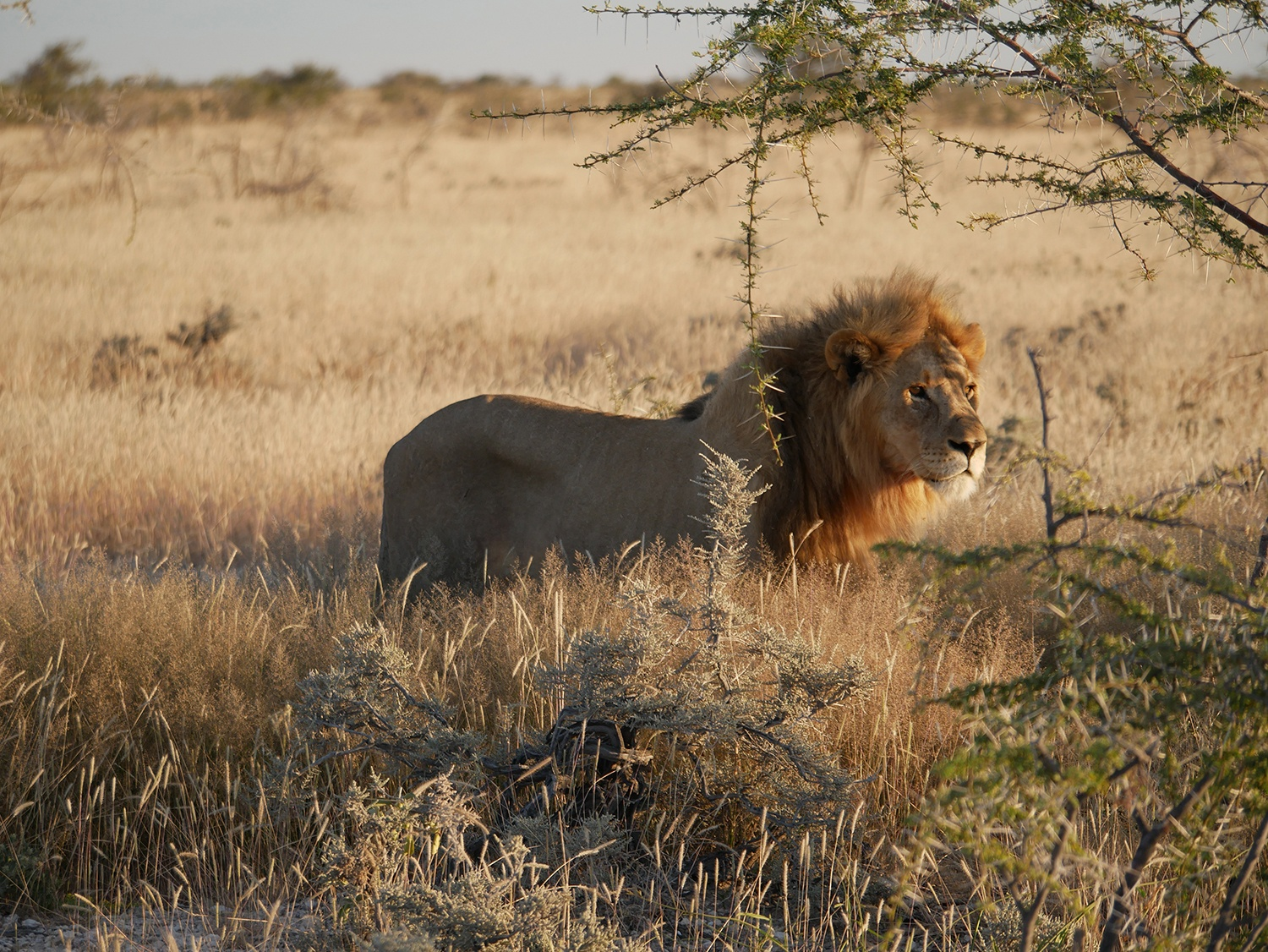 … and lions